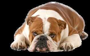 bulldog laying down_edited.png