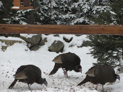 turkeys in snow