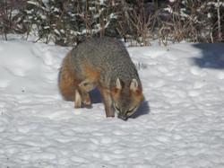fox eating birdseed