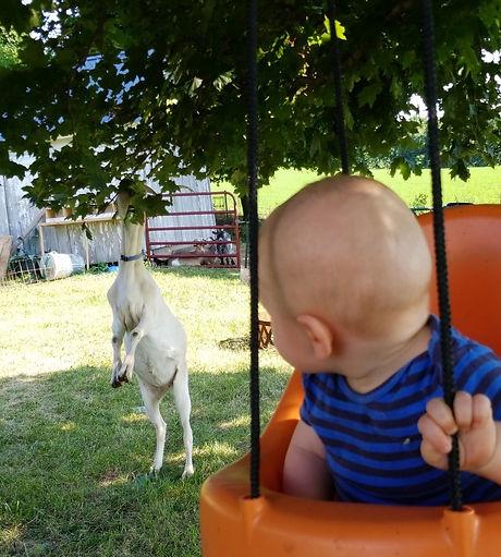 goat pets