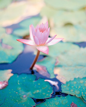 water lily_edited.jpg