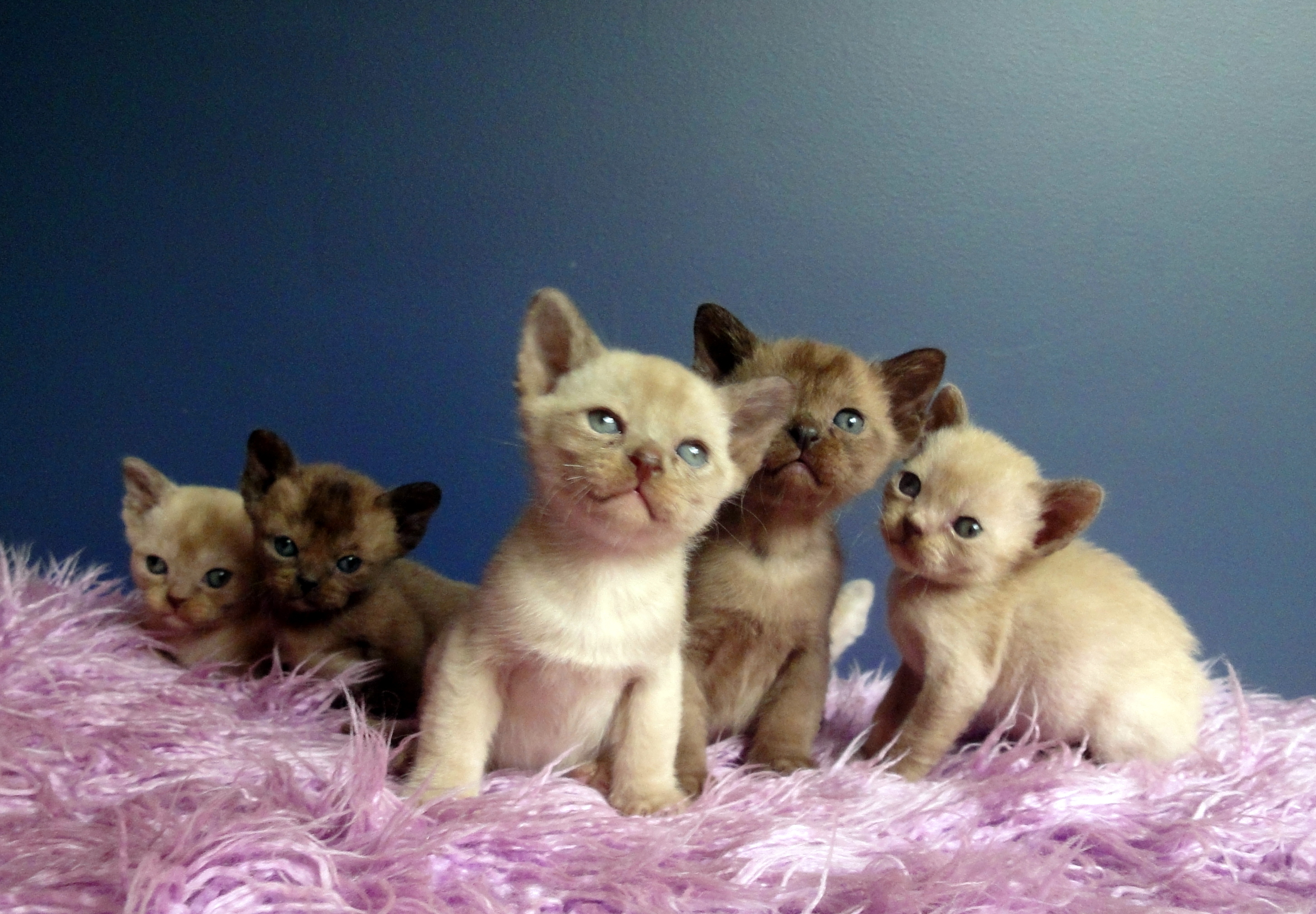 Chocolate & Brown Burmese Kittens