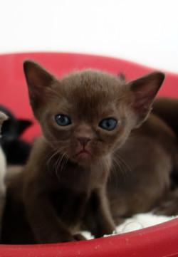MIamber Mandalay Chocolate kitten