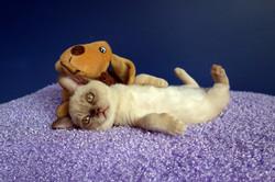 Chocolate Burmese Kitten
