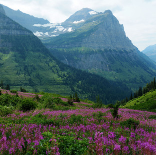 A063  Fireweed in Glacier  Greeting Card