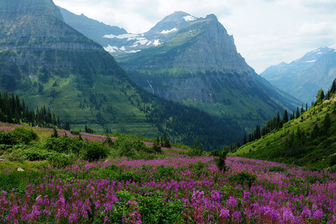 Fireweed in Glacier