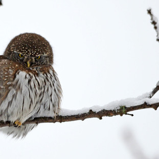 A012  Northern Pygmy Owl Greeting Card