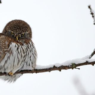 A012  Northern Pygmy Owl Greeting Card