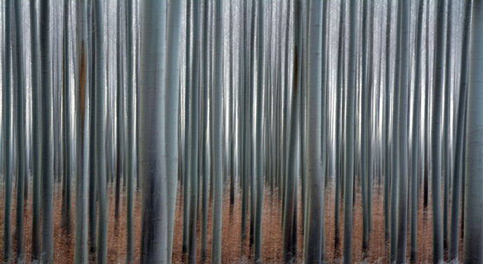 Forest Illusions- Abstract Poplar Forest