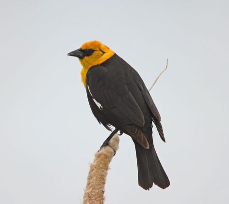 Yellow Head Blackbird on Cattail