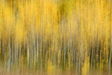 Forest Illusions- Autumn Aspens