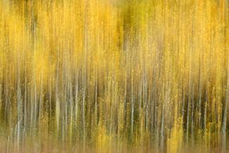 Forest Illusions- Autumn Aspens