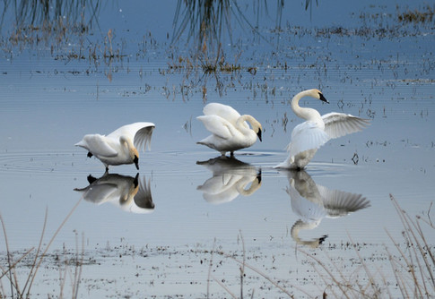 Dance of the Trumpeters