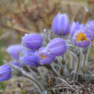 A027  Pasque Flowers Greeting Card