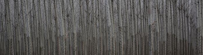 Forest Illusions- Aspen Veil