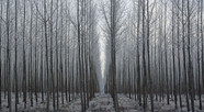 Forest Illusions- Tree Symmetry