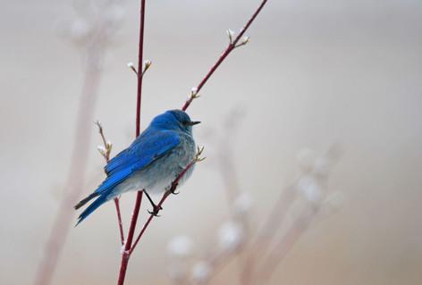 Mountain Bluebird in Spring