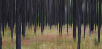 Forest Illusions-Autumn Lodgepoles