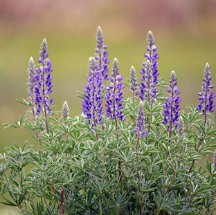 A149 Bouquet of Lupine Greeting Card