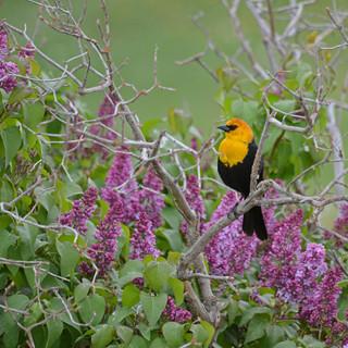 A028  Blackbird and Lilacs Greeting Card