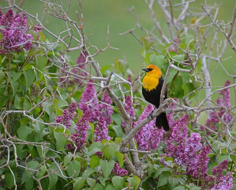 Yellow Head Blackbird and Lilacs