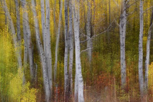 Forest Illusions- Aspenwood