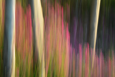 Forest Illusions- Fuchsia Morning
