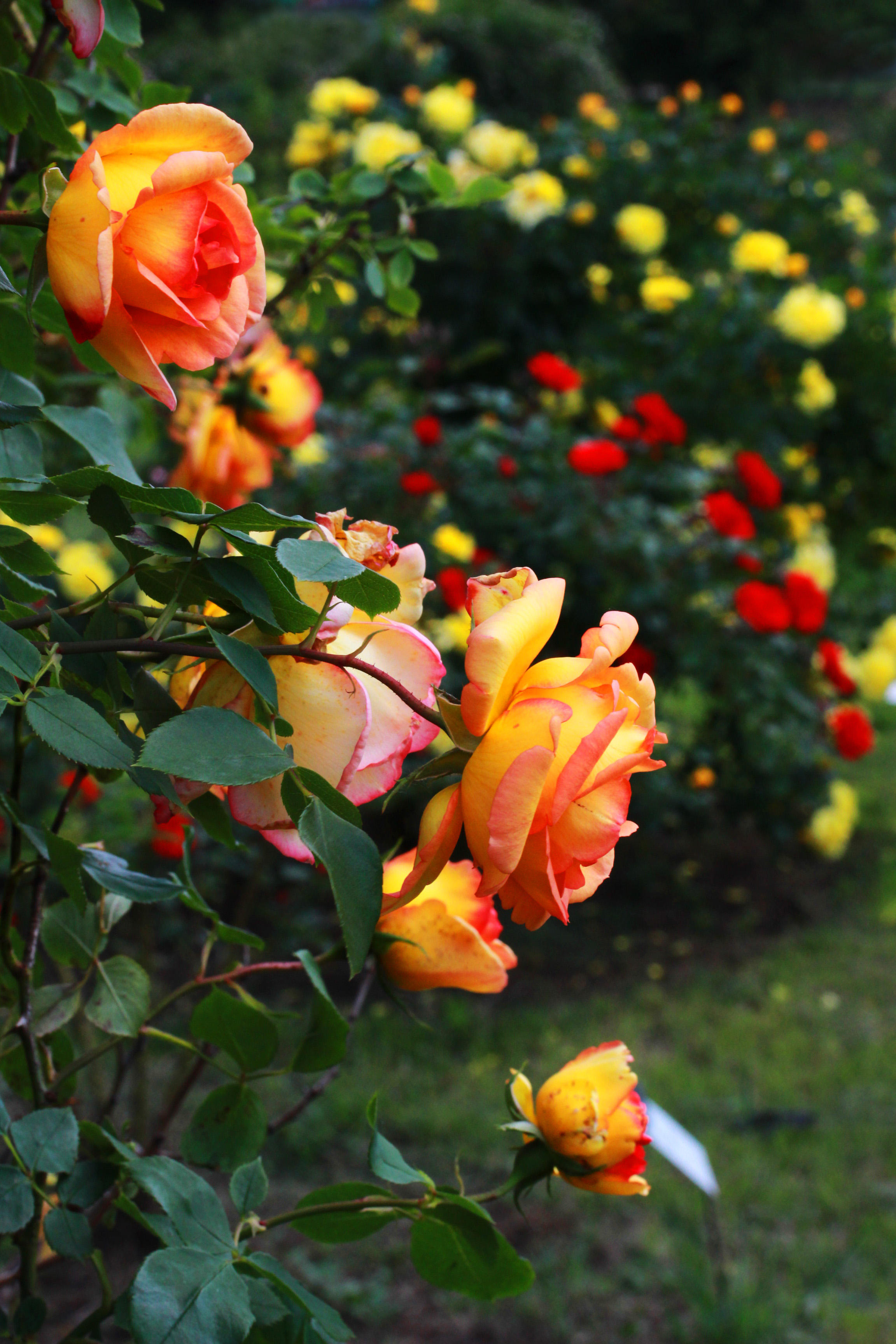 Budatétényi rózsakert, rozárium