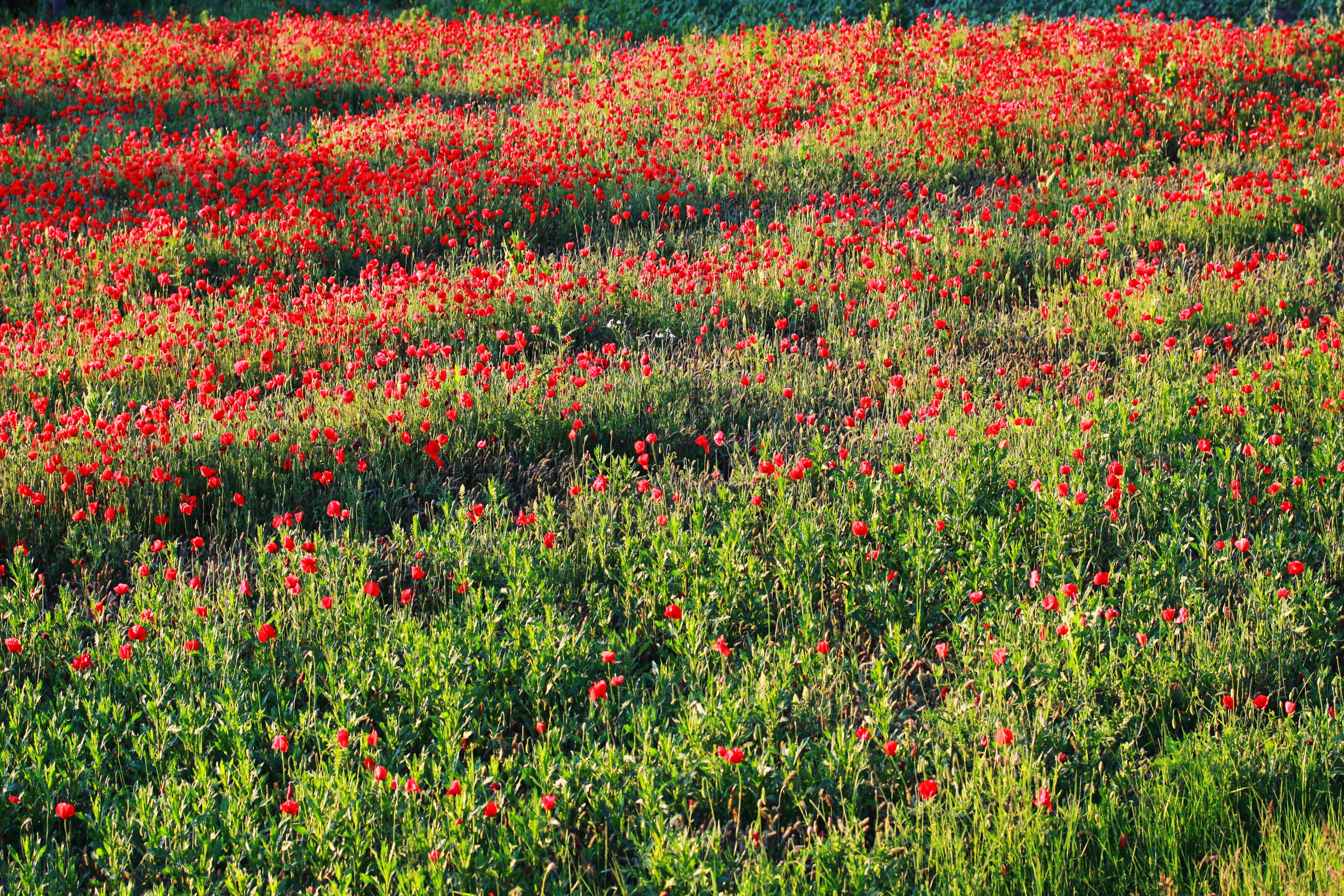 Elbűvölő mákvirág, azaz a pipacs