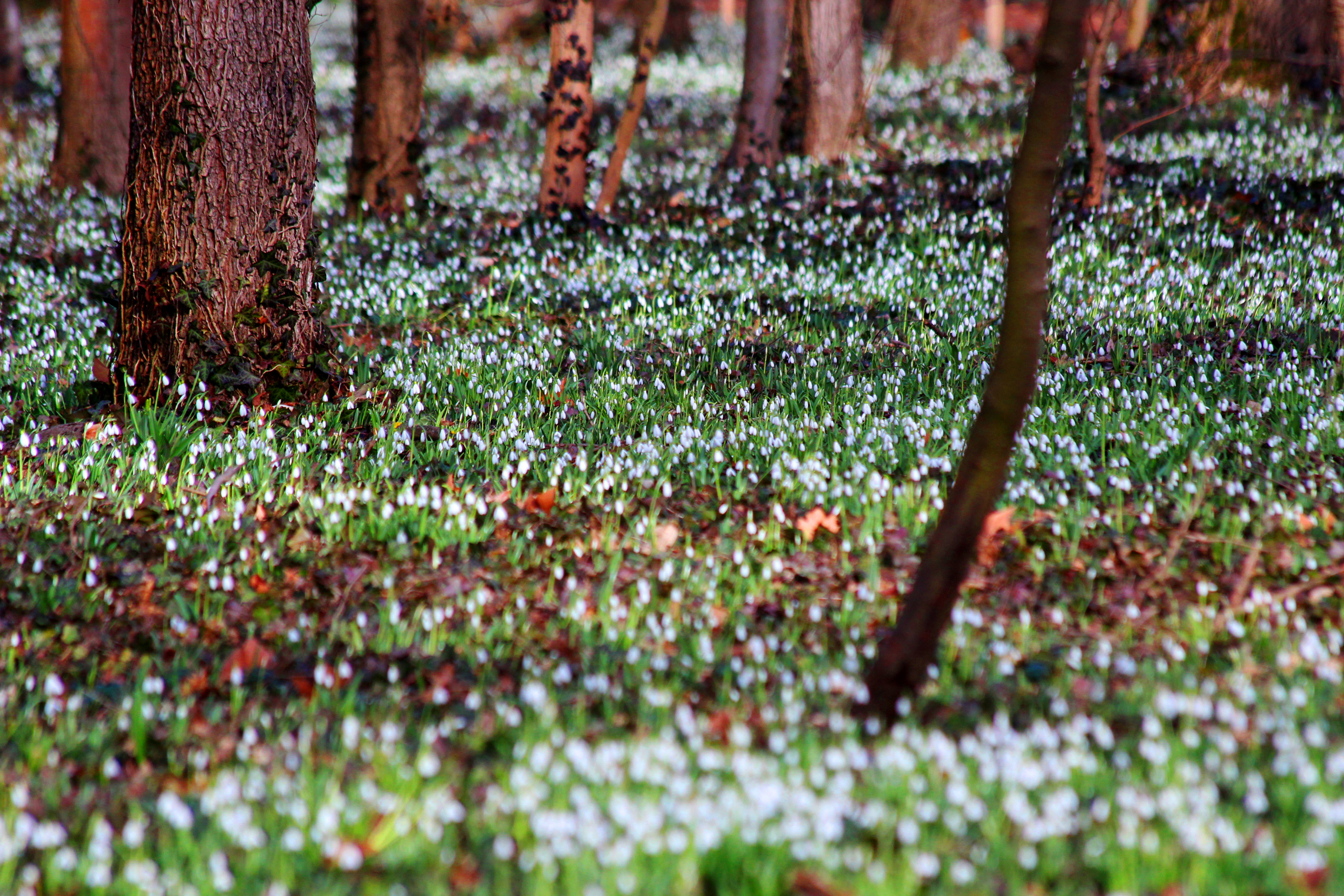 Alcsúti Arborétum - hóvirágzás