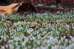 IMG_8263Alcsúti Arborétum - hóvirágz