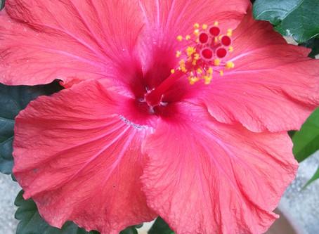 コンドミニアムホテルナゴリゾートリエッタ中山には沖縄にぴったりのハイビスカスが植栽されてます。太陽の光を浴びて咲いたお花を見ると元気になりますね。フルーツもいいですがお花も素敵です。名護旅館沖縄飯店