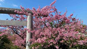 沖縄フルーツランドの周辺では例年、本部の八重岳桜祭り、今帰仁グスク桜祭り名護さくら祭りと有名な桜の名所にて3つものお祭りが行われます。今年はお祭りはないのですが桜は見事に満開です。