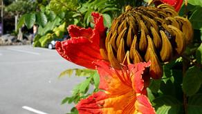 オキナワフルーツランドのフルーツゾーンでカエンボクが花を咲かせました。この時期沖縄でも旧正月をお祝いします。そして旬節のお客様も御来県のシーズン。テーマパークトロピカル王国物語もぜひお楽しみください。