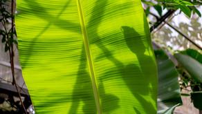 6月11日もくようび沖縄県名護市は梅雨の晴れ間です。フルーツランドは、オープンに向けノンストップで準備が始まっております。梅雨に入りフルーツたちがどんどん成長しております。本日はバナナの葉の紹介です。