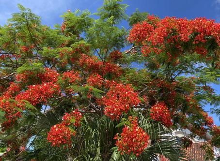 鳳凰木が咲いております。沖縄は夏本番!おきなわ彩発見やGoToキャンペーン等始まりますね。海や山や花等北部の自然に感動です。リエッタ中山は高級ホテル並みの広さ、カップルから子連れのご家族旅行もお勧め!