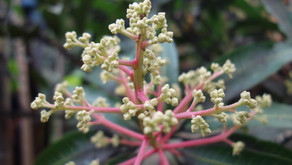 マンゴーのつぼみが沖縄の夏に向かい成長です。7月になるとフルーツ達が出荷されますが、パインやドラゴンフルーツなども楽しみですね。フルーツランドのフルーツカフェやトロピカル王国物語も宜しくお願いします。