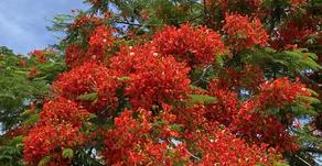 沖縄フルーツらんどでは鳳凰木が満開を迎えました。テーマパークの入口にあり皆様を元気に迎えてくれます。県の移動やプロ野球開幕など少しづつ前に進んでいる気がします。フルーツランドも再開に向け進んでおります