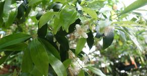 グルミシャーマの花が咲いています。沖縄フルーツランドのトロピカル王国物語を冒険していると出会えます。夏に向け果物は成長していきます。沖縄名護市にあるテーマパークぜひお越し下さい。雨の日も楽しめます。
