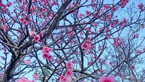 沖縄は桜の季節です。フルーツランドの周辺でも桜の開花が見られます。お祭りもたくさんあり、名護の桜祭り、本部町八重岳さくら祭り、今帰仁城桜祭り等有名な桜祭りや名所が揃っています。日本一早い桜祭りです。