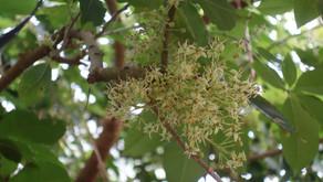 沖縄フルーツらんどの園内にホワイトサポテの花が咲いていました。美味しい実がつくのが楽しみです。トロピカル王国物語を冒険しながら果物の秘密を覚えてくださいね。フルーツカフェでは素敵なスイーツが楽しめます
