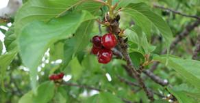 沖縄名護市では日本一早い桜祭りが1月末に終了し、今は新緑とさくらんぼが実をつけています。フルーツランドのトロピカル王国物語を冒険していると発見できます。絵本とフルーツのテーマパークでお待ちしております