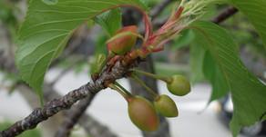沖縄の名護市や本部町では日本一早い桜祭りが、なんと1月に行われました。すでに実が着きはじめています。本格的な春ですね。フルーツと絵本と魔法のテーマパークOKINAWAフルーツらんどもぜひお越ください。