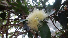 沖縄フルーツランドの園内にフトモモの花が咲いていました。トロピカル王国物語の途中で見学できます。受粉後成果になるまで楽しみです。名護のokinawaフルーツらんどにぜひ御来店ください。沖縄水菓楽園