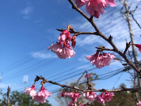 沖縄県名護市は暖かな桜のシーズンです。