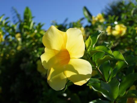 沖縄ではハイビスカスと並ぶ有名で素敵なお花アラマンダ、ステイホームが続いておりますが、コンドミニアムホテル名護リゾートリエッタ中山スタッフ一同皆様にお会いできるのを楽しみにしております。