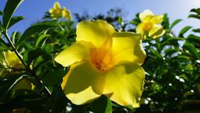 夏に咲く沖縄のお花アラマンダ、フルーツランドでもたくさん咲いてくれます。ステイホームが続いておりますが、沖縄で皆様の笑顔に会えるよう心より願っております。みんなで乗り切っていきましょう!!