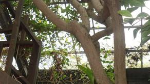 フルーツランドのフルーツご紹介。森のバターと呼ばれるアボガド。アボガドの実がつく確率は1万分の1!?アボガドに隠された秘密をご紹介です。沖縄のテーマパークで実る果物達をどんどんご紹介していきます。