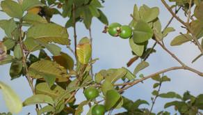 沖縄フルーツランドのグァバの実をご紹介です。季節外れですが、香りは強く食物繊維が豊富。トロピカル王国物語でも大切な果物、フルーツカフェでも季節になると食べることができます。フルーツらんど沖縄水菓楽園