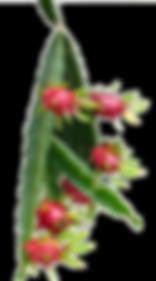 フルーツランド・ドラゴンフルーツ1.png